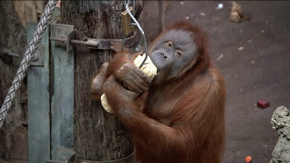 Orang Utan leckt Salz aus Holzklötzchen.