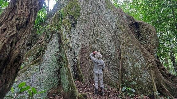 Ein Mann steht vor einem riesigen Cachichira Baum und schaut nach oben.