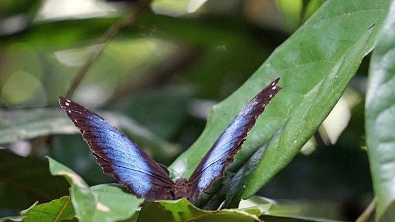 Blauer Morphofalter auf grünem Blatt.
