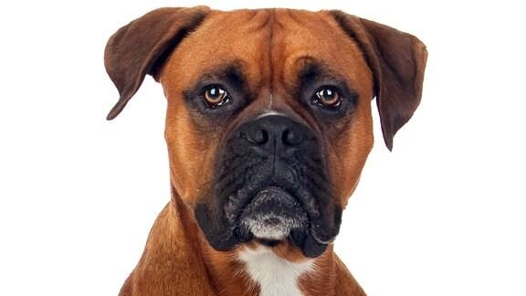 Eine Dogge