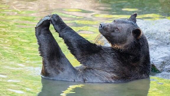 Europäischer Braunbär liegt im Wasser