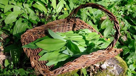 Blätter von Bärlauch Allium ursinum, Maiglöckchen Convallaria majalis, Herbstzeilose und Gefleckter Aronstab Arum maculatum in Sammelkorb.
