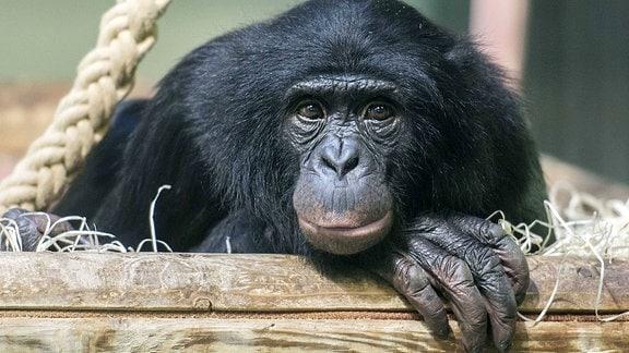 Ein Bonobo schaut in die Kamera.