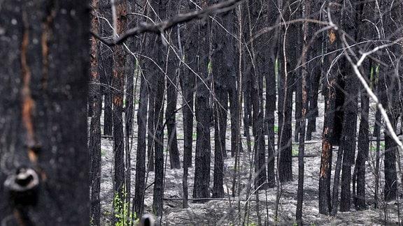 Ein verbrannter Wald bei Lomatschi, 2016