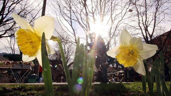 Narzissen blühen am Schlossplatz an einem frühlingshaften Tag in Stuttgart.