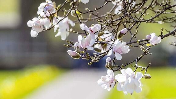 Frühling in Stuttgart: im Zoologisch-Botanischen Garten Wilhelma blühen die ersten Magnolien.