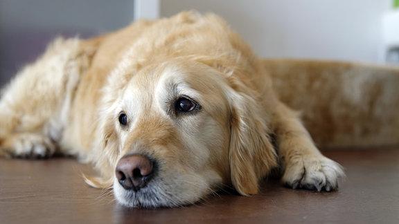 Ein Golden Retriever liegt auf dem Boden