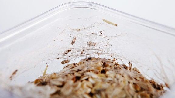 Entfernen lebensmittelmotten maden Lebensmittelmotten in