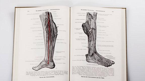 Holzschnitte in einem medizinischen Fachbuch, Darstellung der Nerven im menschlichen Bein