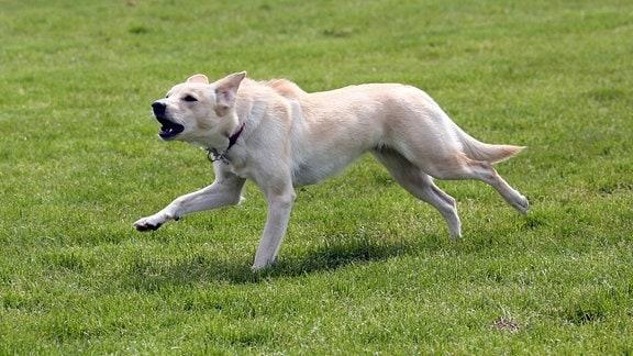 Hund rennt bellend über eine Wiese.