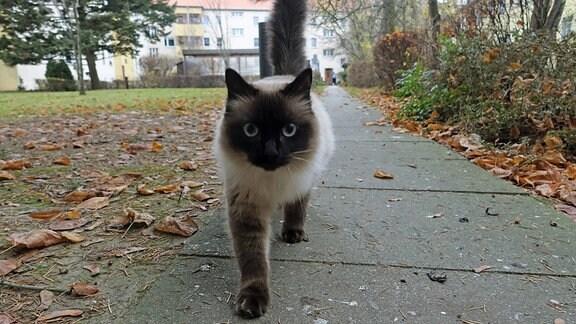 Ragdoll-Katze kommt auf den Betrachter zu.