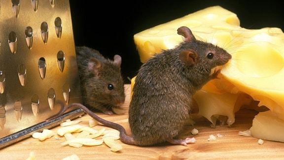 Mäuse mit Reibe und Käse