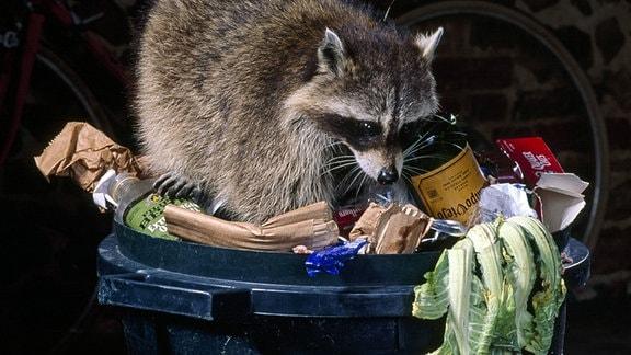 EIn Waschbär sucht an einer geöffneten Mülltonne nach Futter.