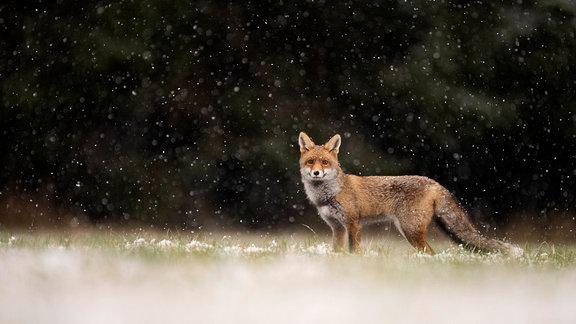 Rotfuchs bei Schneefall