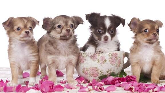 Vier Chihuahua-Welpen mit Blumen.