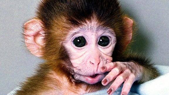 Genetisch veränderter Rhesusaffe (Macaca mulatta)
