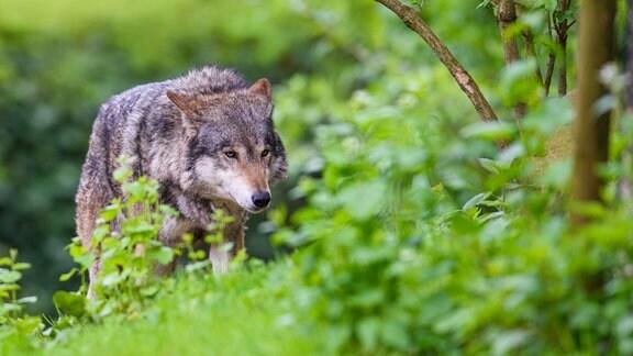 Ein Wolf läuft durch sein Gehege
