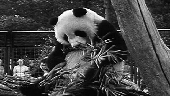 Pandabär Chi Chi