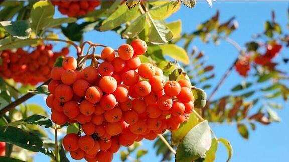 Die Früchte der Eberesche.