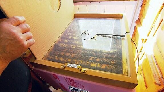 Viele Bienen in einer Kiste mit Glassichtfenster.