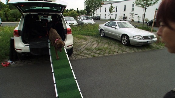 Ein Hund klettert auf einer Rampe aus dem Auto.