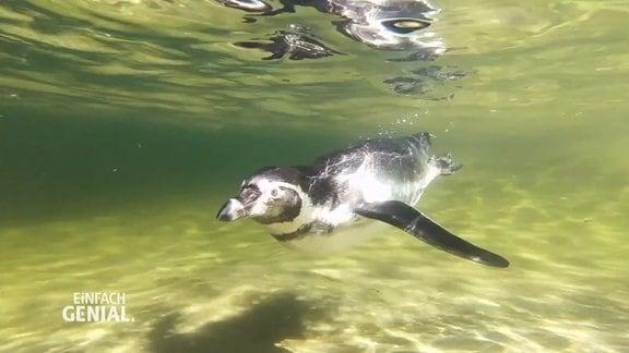 ein Pinguin unter Wasser
