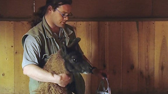 Eine Pfleger legt dem Lama Horst ein Geschirr an.