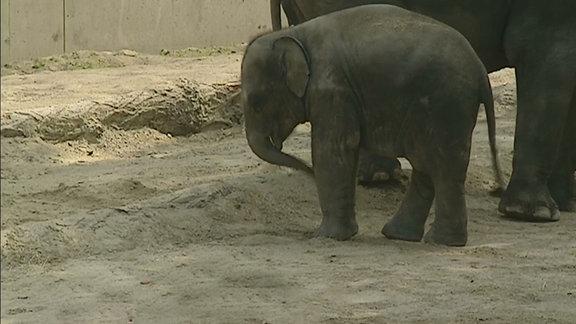 Der Elefantenjunge Voi Nam vor seiner Mutter.