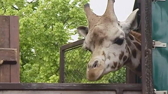 """Giraffe """"Knöpfchen"""" schaut aus einem Anhänger."""