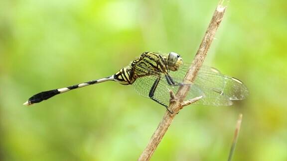 Ophiogomphus cecilia Grün Flussjungfer Libelle im Garten
