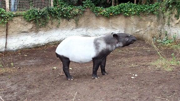 Tapir Baru