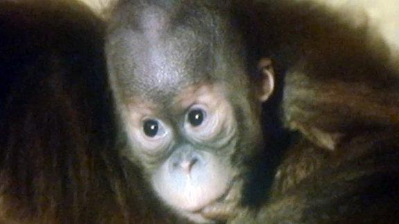 1987, Orang-Utan-Baby Rokan im Zoo Leipzig.