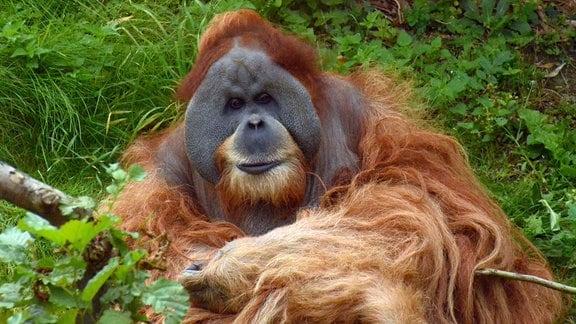 Orang-Utan Bimbo im Zoo Leipzig