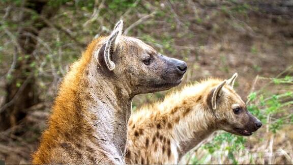 zwei Hyänen