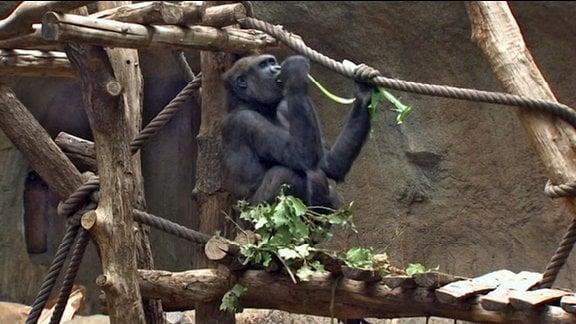 Affe im Pongoland