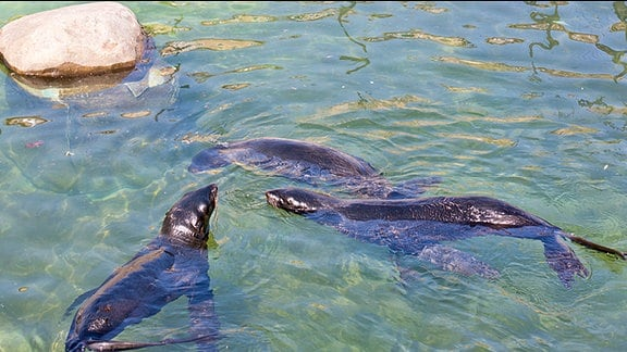 drei Seebären im Wasser
