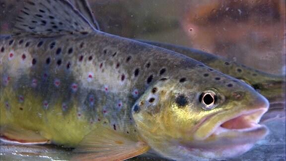 Ein Fisch mit geöffnetem Maul