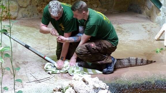 Zwei Männer halten unter einem Handtuch ein Krokodil fest