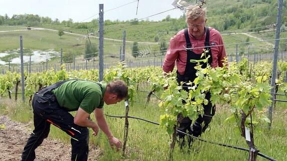 Winzer Lars (links) und Rolf Reifert bauen Wein auf einer ehemaligen Kohlehalde am Geiseltalsee an.