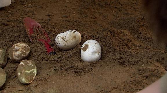 Komodowaran-Eier