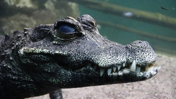 Ein kleiner Aligator