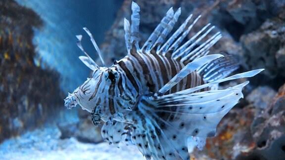 Ein Feuerfisch im Aquarium