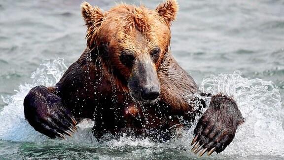 Bär aus Kamtschatka