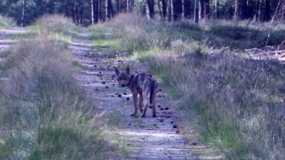 Wolf auf Waldweg schaut in Kamera