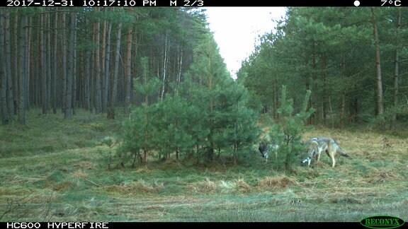 Zwei Wölfe auf Lichtung im Wald