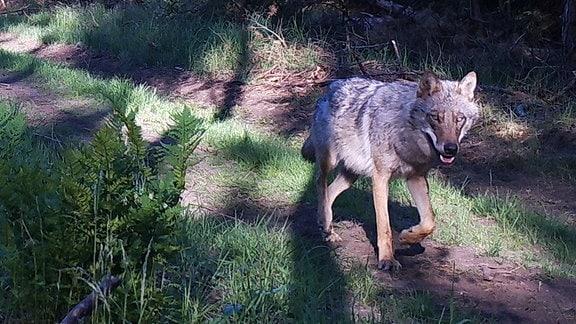 Wolf auf Waldweg