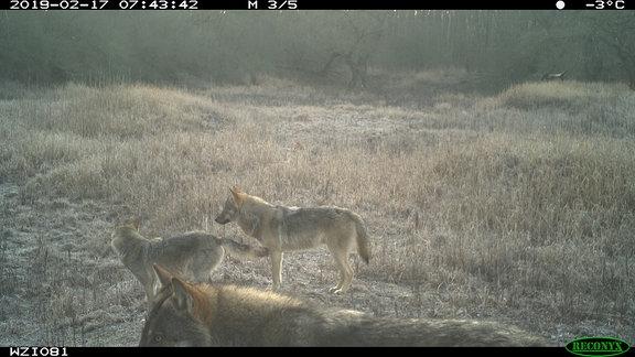 Wölfe auf Lichtung im Wald