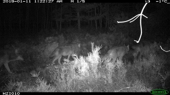 Infarotaufnahme Wölfe bei Nacht im Wald