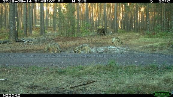Wölfe auf Waldweg