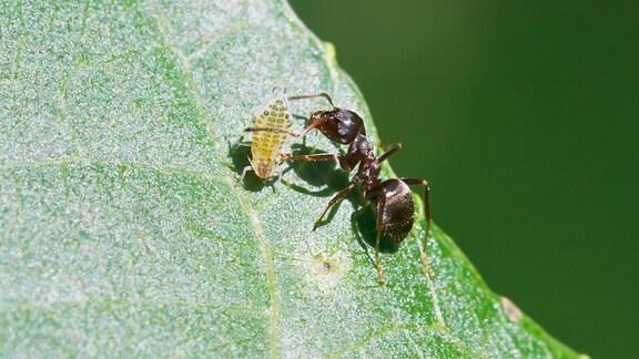 Ameise fängt eine Blattlaus auf einem Walnuss-Blatt